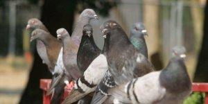 les-pigeons-entrent-dans-les-combles-et-font-leurs-besoins_2141091_800x400